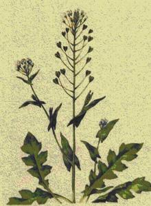 пастушья сумка трава цветы растение Пастушья сумка фото фотка фотография...