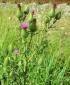 Осот полевой розовый