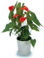 Антуриум anthurium andreanum