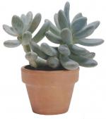 pahifitum-Pachyphytum-oviferum-1.jpg